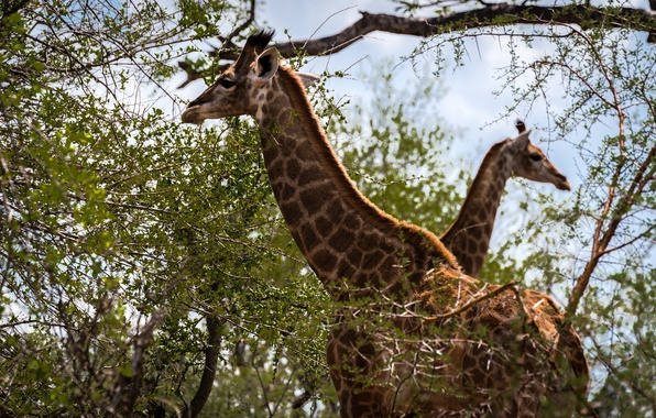 Picture giraffes, color, two, neck