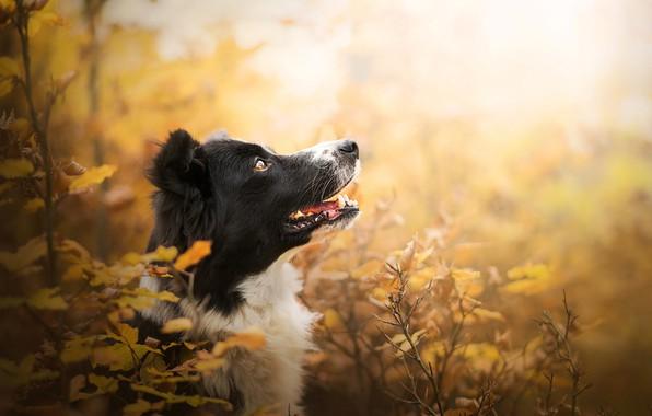 Picture autumn, face, branches, portrait, dog, profile, bokeh, The border collie