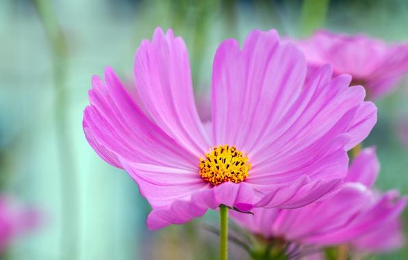 Picture Macro, kosmeya, Macro, Purple flower, Purple flower, Kosmeya