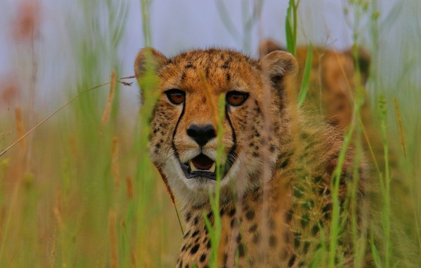 Picture grass, look, face, wild cat, Cheetah