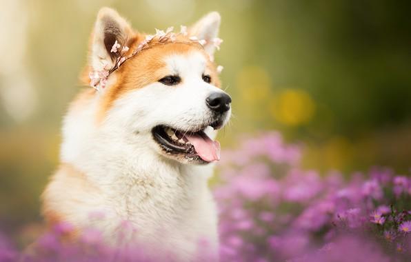 Picture language, face, flowers, portrait, dog, wreath, bokeh, Akita inu