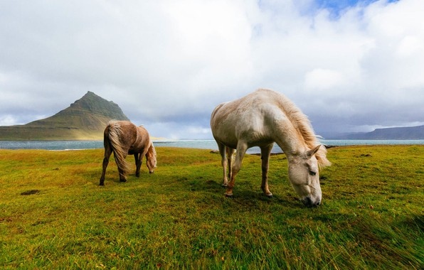 Photo wallpaper field, mountains, horses, horse, Iceland, grazing, Icelandic