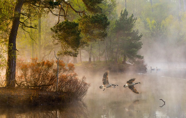 Picture forest, water, light, trees, nature, fog, river, duck, morning, couples