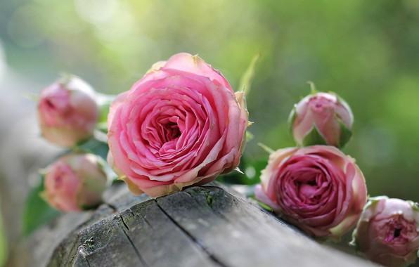 Picture log, pink roses, blur bokeh