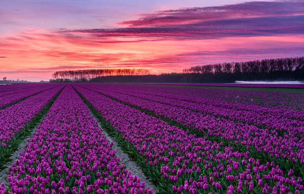 Picture clouds, glow, tulips, Netherlands, plantation