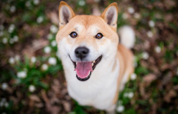 Picture language, look, face, nature, smile, background, glade, portrait, dog, puppy, blurred, Shiba inu, Shiba