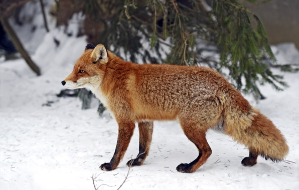 Picture winter, forest, snow, branches, Fox, red, needles