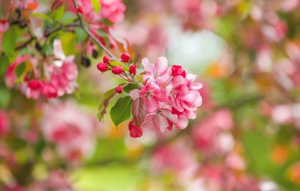 Picture macro, branch, spring, Apple, flowering, flowers, bokeh, buds