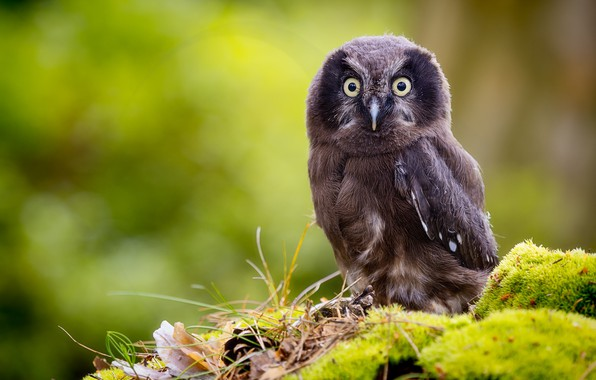 Picture background, owl, bird, moss, chick, bokeh, Tengmalm's owl