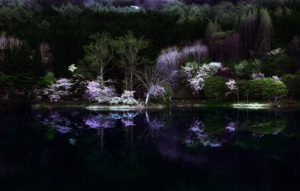 Picture forest, night, nature, lake, the darkness, spring, Japan, Sakura