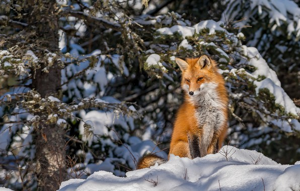 Picture winter, forest, snow, Fox, red