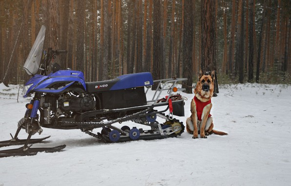 Picture winter, look, each, dog, dog, snowmobile, German shepherd, shepherd, shepherd, German Shepherd