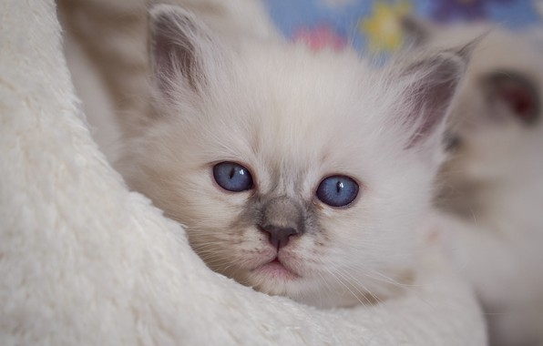 Picture look, muzzle, kitty, blue eyes, Ragdoll