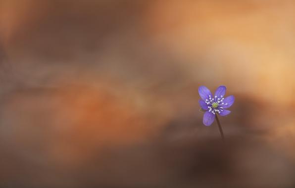 Picture flower, nature, Pechenocna, Hepatica nobilis