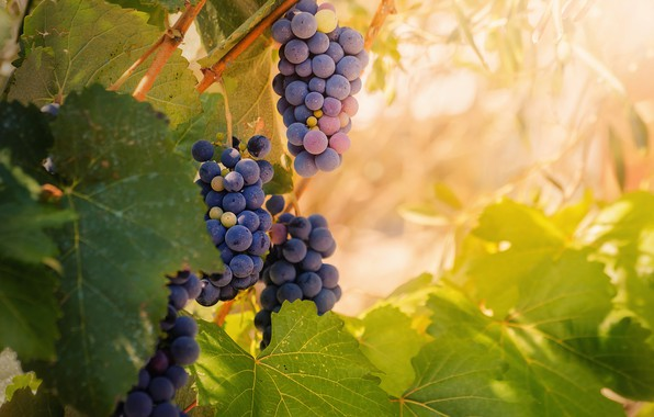 Picture leaves, grapes, bunches