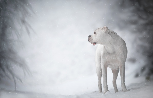 Picture winter, white, dog, bokeh, boxer