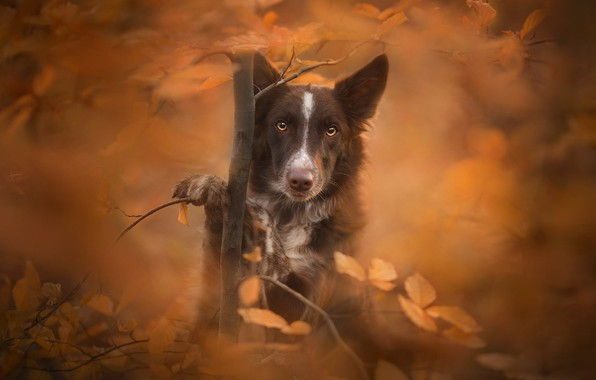Picture autumn, look, leaves, tree, dog, bokeh, The border collie