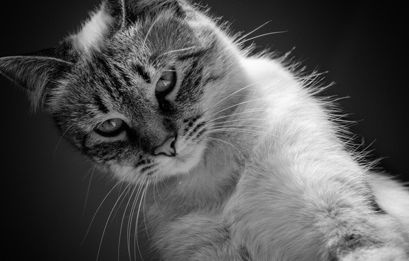 Picture cat, cat, black and white, kitty, monochrome, cat