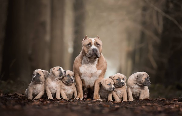 Picture dogs, puppies, family portrait, Pit bull terrier