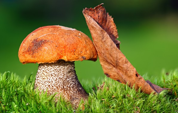 Picture greens, autumn, grass, the sun, macro, nature, mushroom, leaf, bokeh
