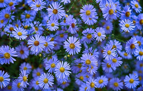 Picture flowers, asters, Astra novoblogika