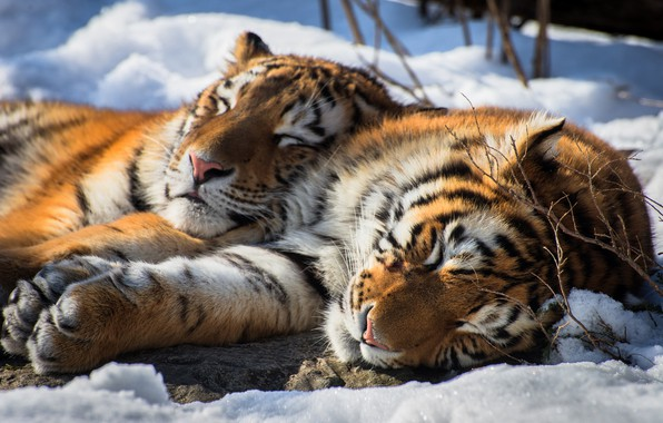 Picture snow, stay, sleep, pair, tigers, wild cat, The Amur tiger, two tigers, sleeping tigers