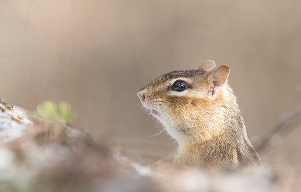 Picture Chipmunk, face, bokeh, rodent
