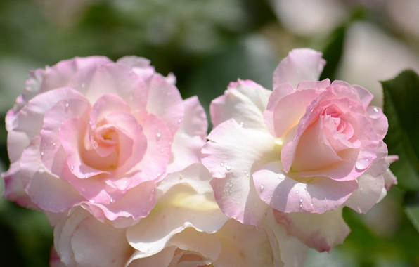 Picture drops, macro, tenderness, roses, petals