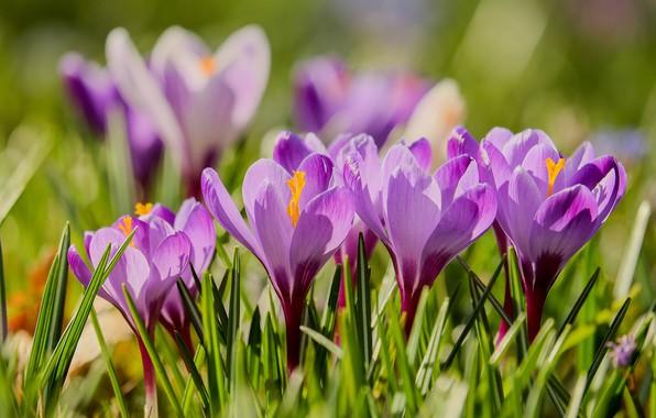 Picture Spring, flowering, Crocuses