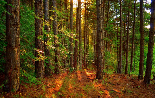 Picture Trees, Forest, Landscape, Forest, Trees, The rays of the sun