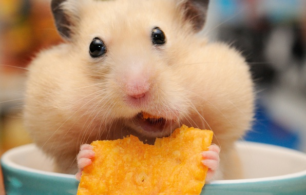 Picture hamster, muzzle, mug, lunch, rodent, chips, cheeks