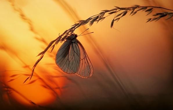 Picture grass, the sun, macro, light, sunset, butterfly