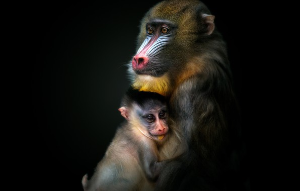 Picture monkey, monkey, cub, black background, the dark background
