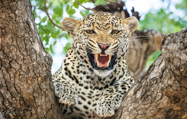 Picture face, anger, predator, rage, mouth, leopard, fangs, grin, Africa, aggression, wild cat, on the tree, …