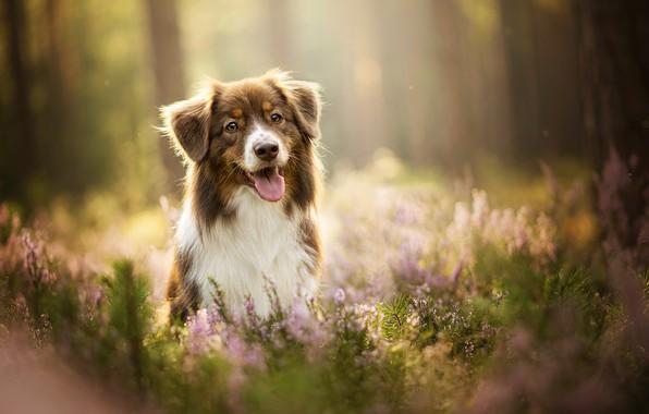 Picture language, dog, lavender, bokeh, Kaylee