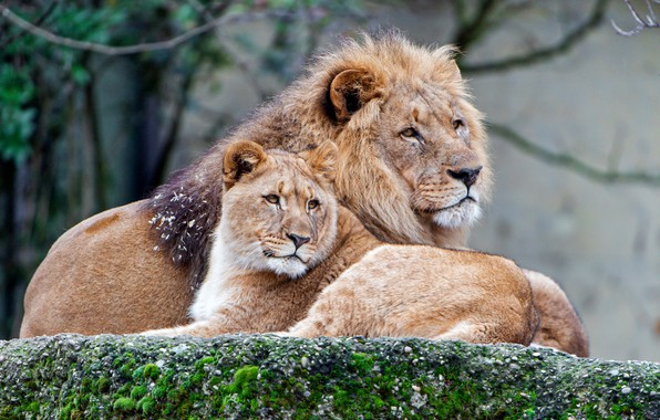 Picture love, cats, branches, nature, background, stay, stone, moss, Leo, family, pair, wild cats, lions, lioness, …