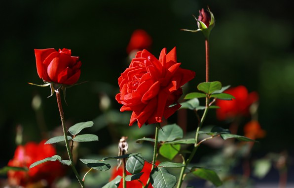 Picture summer, beauty, red roses