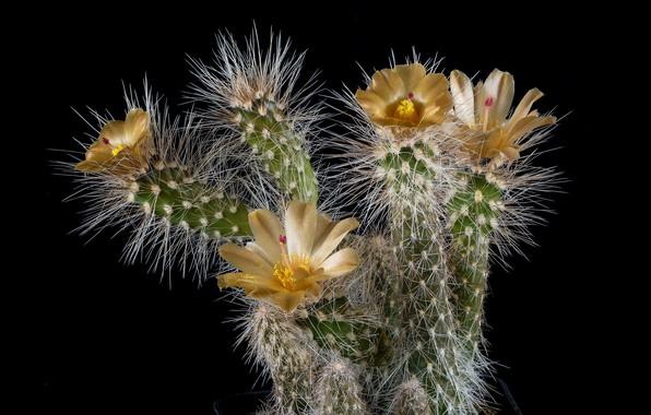 Picture needles, plant, petals, cactus, barb, stamens, black background, picture, yellow flowers