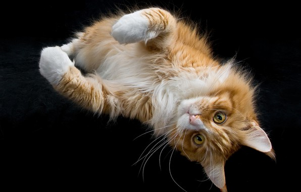 Picture cat, look, paws, muzzle, the dark background, red cat, Maine Coon