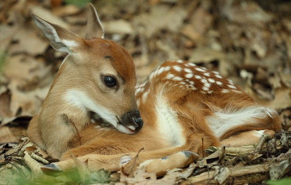 Picture baby, cub, fawn, White-tailed deer