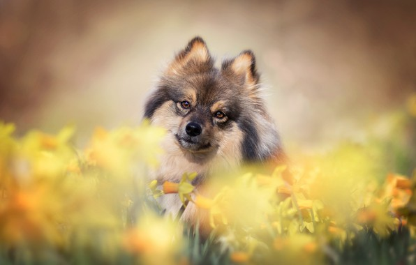 Picture look, flowers, dog, face, daffodils, bokeh, Spitz