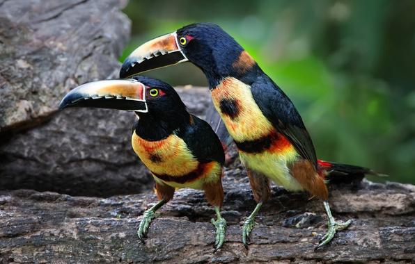 Picture bird, beak, pair, Toucan, collared aracari