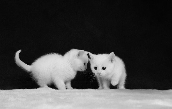 Picture black and white, kittens, white, kids, a couple, monochrome, two kittens