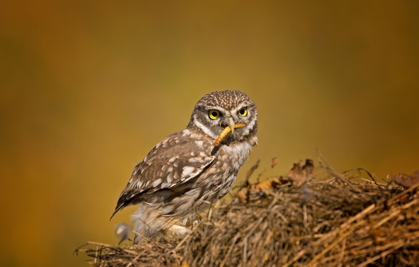 Picture birds, the little owl, owl