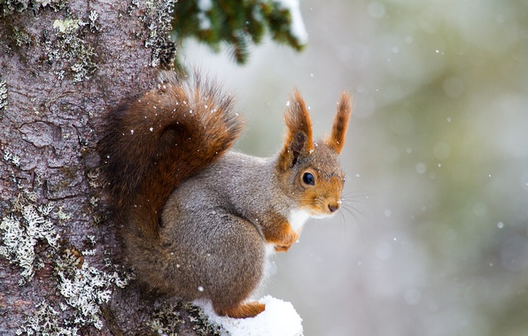 Picture snow, tree, protein, rodent