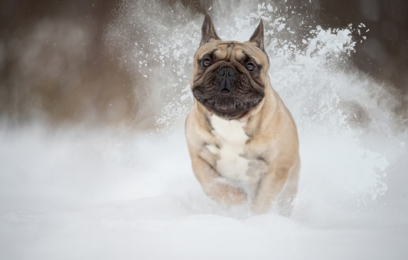 Picture snow, dog, beast, French bulldog