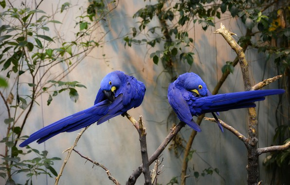 Picture branch, pair, parrots, blue, Hyacinth macaw, tree