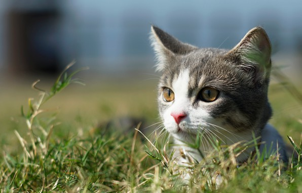 Picture cat, grass, look, muzzle, kitty