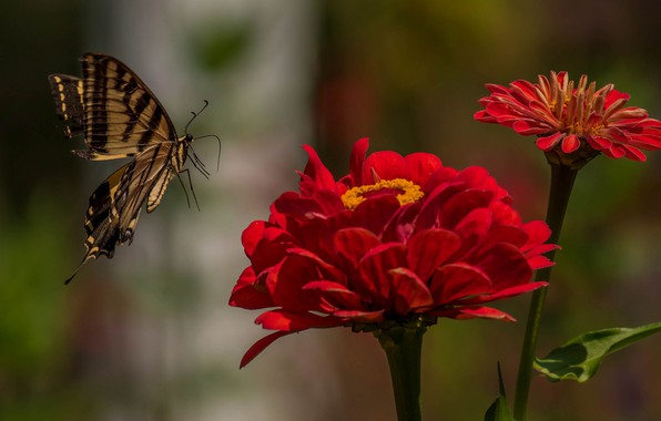 Picture macro, flowers, butterfly, Papilio Glaucus, Zinnia