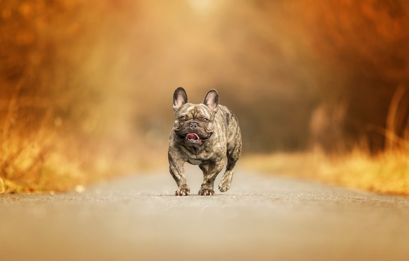 Picture road, background, dog
